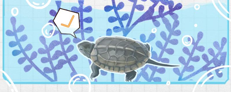 草龟可以深水养吗,放多少水合适