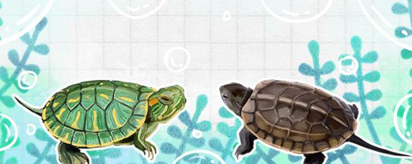 草龟和巴西龟能一起养吗,和花龟能一起养吗