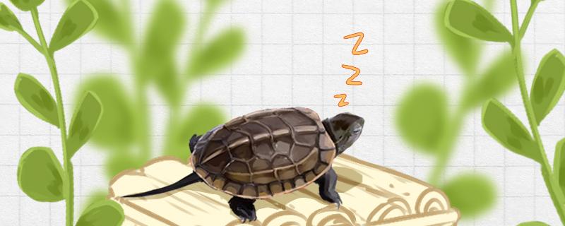 草龟冬眠什么时候结束,冬眠结束后怎么办