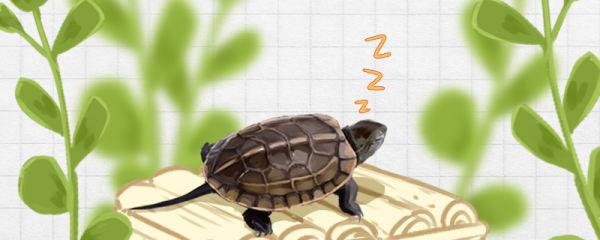 草龟冬眠什么时候开始,什么时候结束