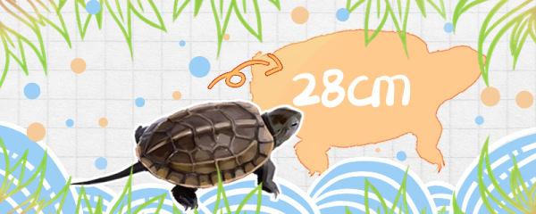 草龟能长到多大,多久能长大