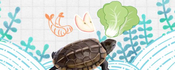 草龟什么时候吃东西,吃什么食物