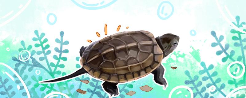 草龟会换壳吗,什么时候开始脱壳