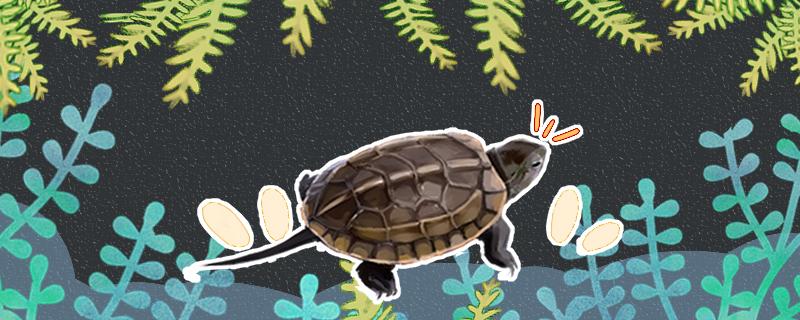 草龟什么时候配种,配种之后多久生蛋