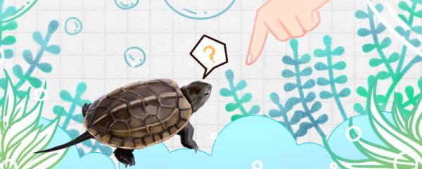 草龟咬人吗,怎么养不咬人
