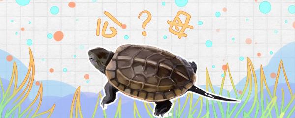 草龟怎么分公母,公母可以在一起养吗