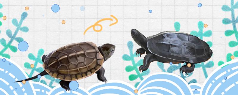 草龟墨化是什么意思,怎么养成墨龟