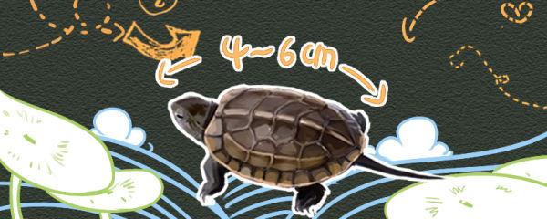 新手怎么养草龟,从几厘米养起