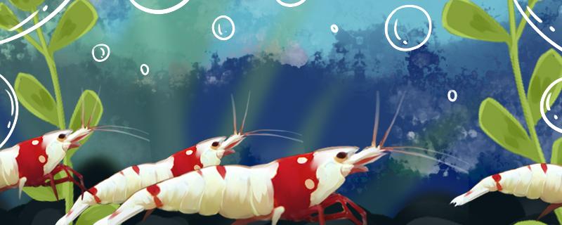 水晶虾怎么养才能爆缸,用什么缸养好