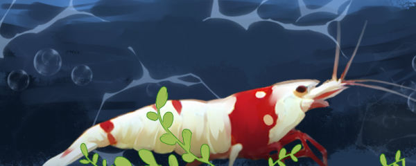 水晶虾怎么繁殖,什么时候开始繁殖