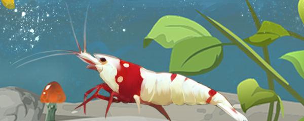 水晶虾怎么分公母,公母能一起养吗
