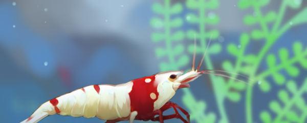 水晶虾多久喂食一次,喂什么食物好