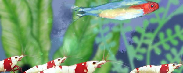 水晶虾好养吗,能和鱼一起养吗