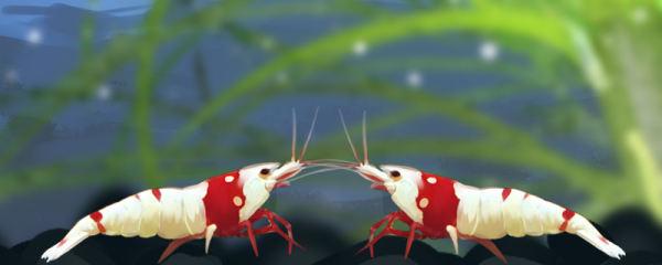 水晶虾多久繁殖一次,多大可以繁殖