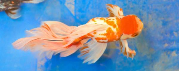 新手养鱼养什么鱼好,金鱼什么品种好养