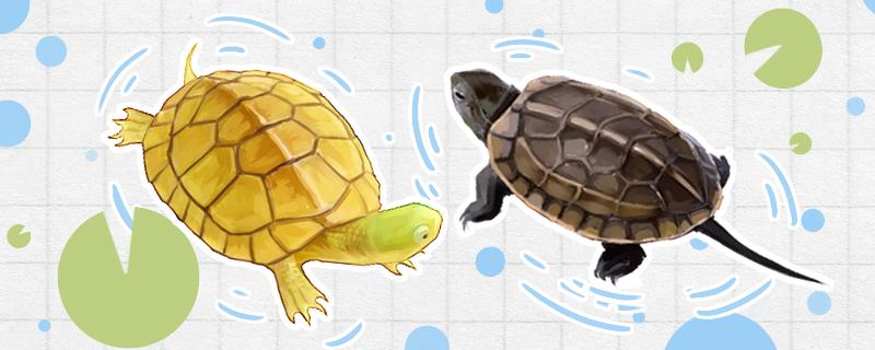 黄喉拟水龟能和什么龟混养,和草龟可以混养吗