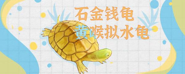 黄喉拟水龟和石金钱龟是一种龟吗,能一起养吗