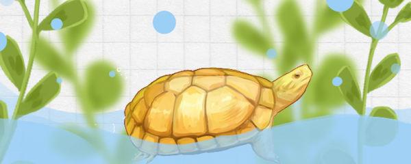 黄喉拟水龟怎么养金黄,需要晒太阳吗