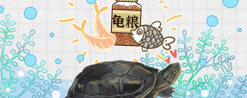 珍珠龟吃什么食物,多久喂一次食物