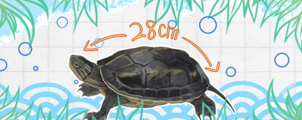 珍珠龟能长多大,多大可以下蛋
