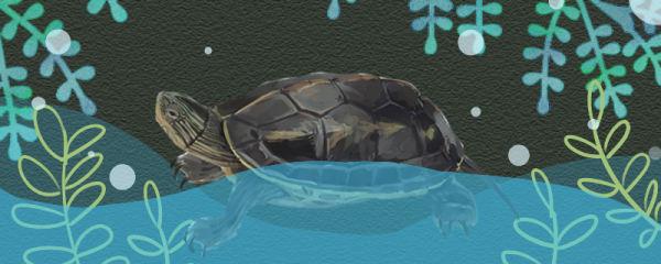 珍珠龟是陆龟还是水龟,用多深的水养好