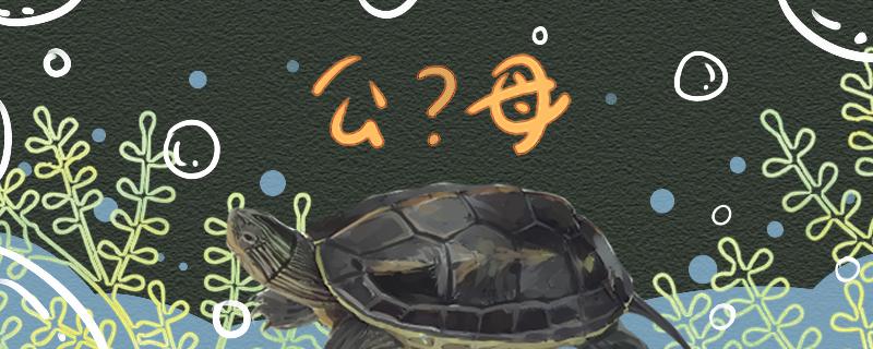 珍珠龟怎么分公母,公母可以同居吗