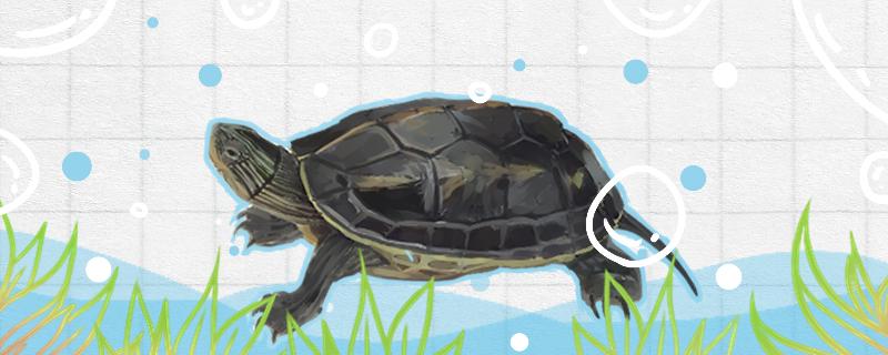 珍珠龟怎么养不容易死,用多深的水养好