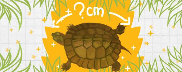 齿缘龟能长多大,多大可以干养