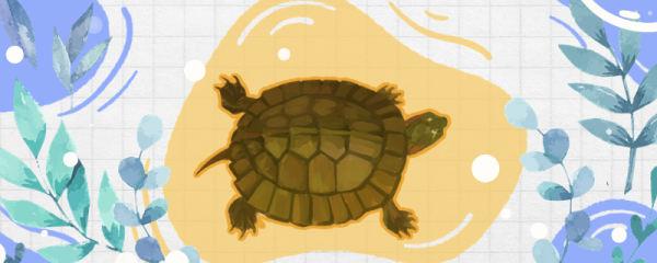 齿缘龟是半水龟么,可以陆养吗