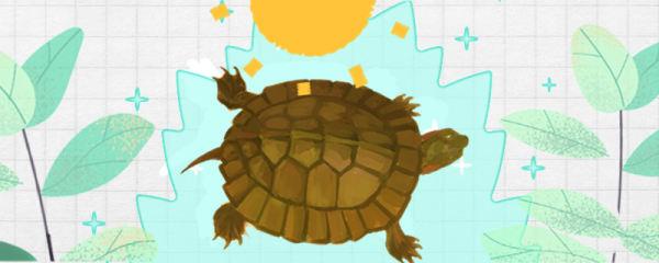 齿缘龟怎么养,需要晒太阳吗