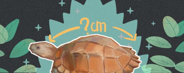 锯缘龟能长多大,多大可以繁殖