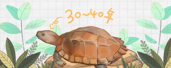 锯缘龟寿命多长,多大可以下蛋