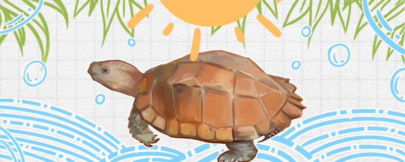 锯缘龟怎么养,需要晒太阳吗