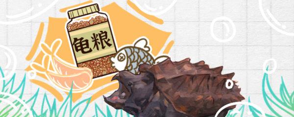 大鳄龟吃龟粮吗,吃水果吗