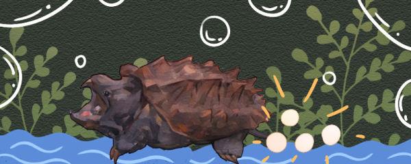 大鳄龟多大可以繁殖,一次能下多少蛋
