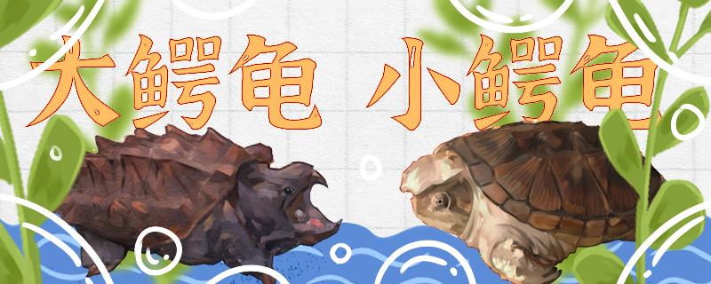 大鳄龟和小鳄龟的区别是什么,能一起养吗
