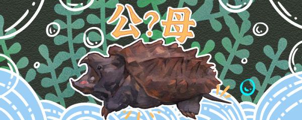 大鳄龟怎么分公母,公母可以一起养吗