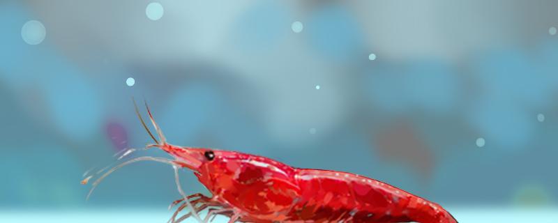 樱花虾可以裸缸养吗,对水质有什么要求