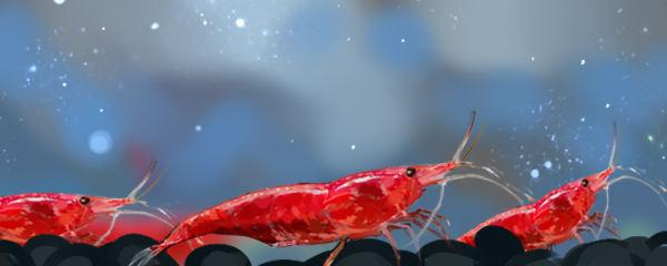 樱花虾怎么养,水温多少度合适