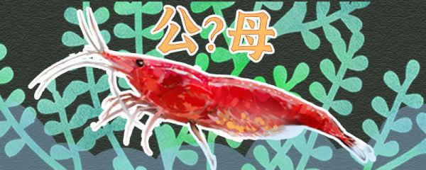 樱花虾怎么分公母,公母能一起养吗