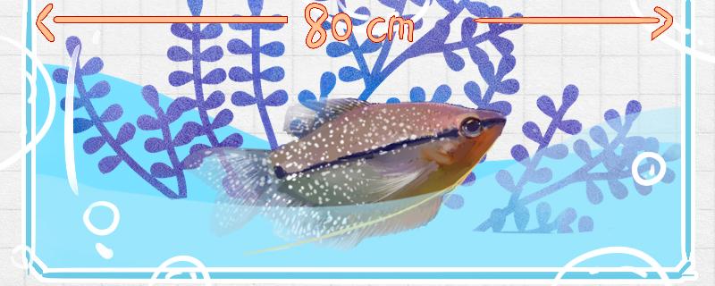 珍珠马甲鱼好养吗,怎么养