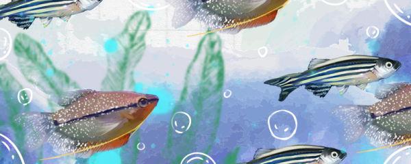 珍珠马甲鱼可以混养吗,能混养哪些鱼类