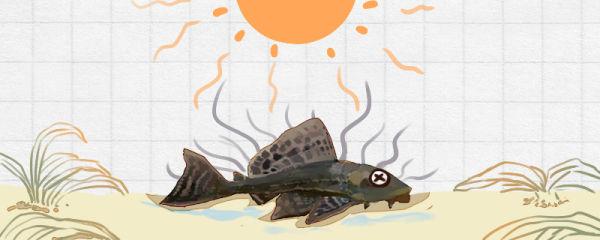 清道夫是什么鱼,晒干还能活是真的吗