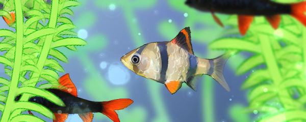 虎皮鱼能和什么鱼混养,混养时有什么要注意的