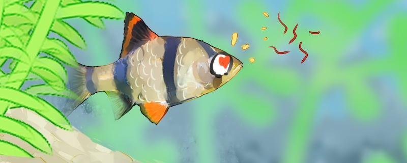 虎皮鱼是热带鱼吗,养殖注意事项有哪些