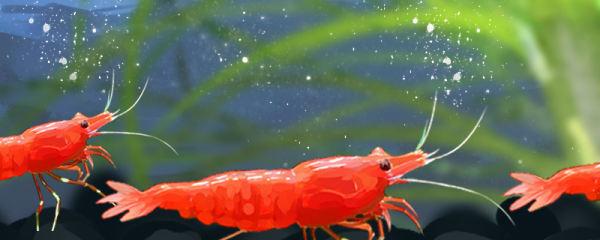 极火虾好养吗,怎么养才红