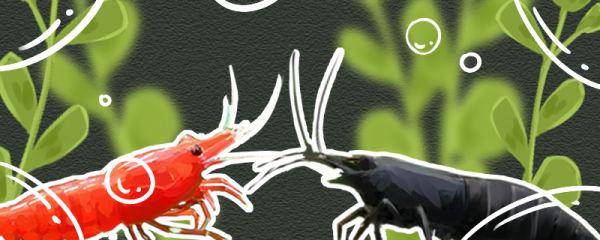 极火虾和黑壳虾可以混养吗,会串种吗