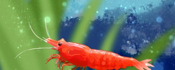 极火虾寿命多长,能长多大