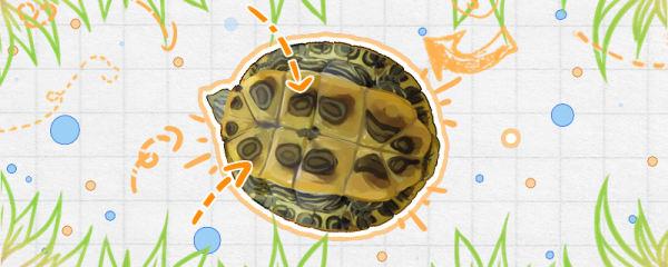 怎么看巴西龟的年龄,怎么看巴西龟的性别