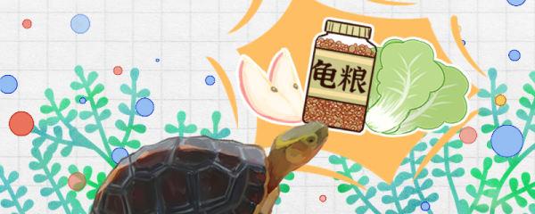 黄缘闭壳龟吃什么食物,多久喂一次